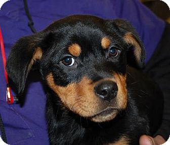 Rottweiler Mix Puppy for adoption in Brooklyn, New York - Sadie