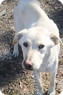 Labrador Retriever Mix Dog for adoption in Waldorf, Maryland - Laurel