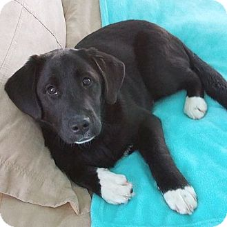 Collie Mix Dog for adoption in Chattanooga, Tennessee - Casanova