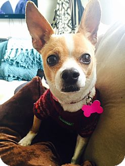 Chihuahua Dog for adoption in Studio City, California - Sophie