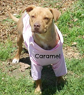 Pit Bull Terrier Mix Dog for adoption in Lawrenceburg, Tennessee - Caramel