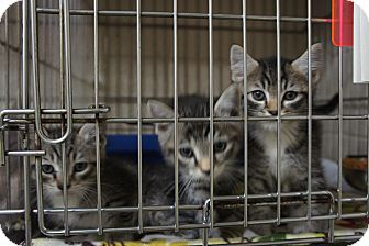 Domestic Shorthair Kitten for adoption in Henderson, North Carolina - Three Amigos (3)*