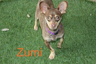 Chihuahua/Dachshund Mix Dog for adoption in San Antonio, Texas - Zumi