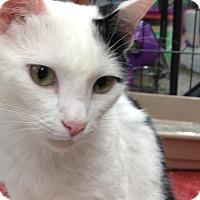 Domestic Mediumhair Cat for adoption in Redondo Beach, California - Cruella