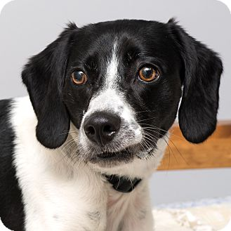 Beagle Mix Dog for adoption in Westfield, New York - Wrangler