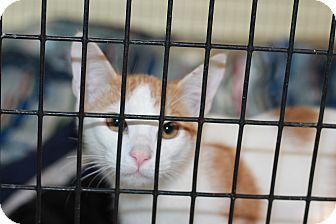 Domestic Shorthair Kitten for adoption in Covington, Louisiana - Lemon Angel