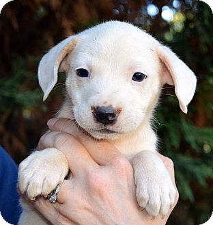 Labrador Retriever/Beagle Mix Puppy for adoption in Newark, Delaware - Tigger