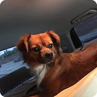 Adopt A Pet :: Fox Trot - Santa Ana, CA