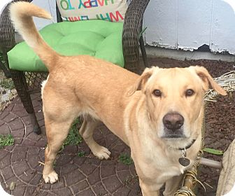 Labrador Retriever Mix Dog for adoption in Houston, Texas - Harrison
