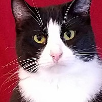 Adopt A Pet :: Cheyenne - Colfax, IA