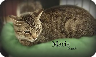 Domestic Shorthair Cat for adoption in Springfield, Pennsylvania - Maria