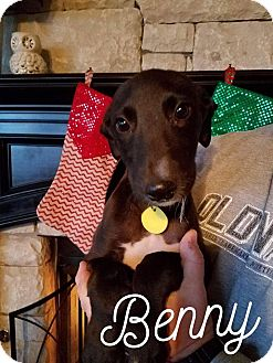 Greyhound/Irish Wolfhound Mix Puppy for adoption in Raleigh, North Carolina - A - BENNY