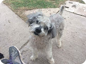Schnauzer (Miniature) Mix Dog for adoption in Brownsville, Texas - Terry