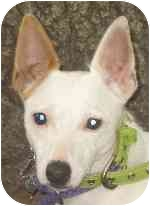 Jack Russell Terrier Mix Dog for adoption in Eatontown, New Jersey - Princess