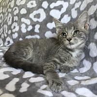 Adopt A Pet :: Great White - Addison, IL