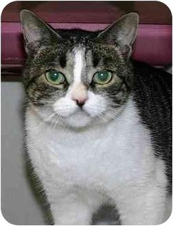 Scottish Fold Cat for adoption in Ladysmith, Wisconsin - Wallis