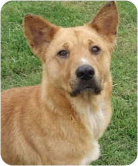 Shepherd (Unknown Type)/Cattle Dog Mix Dog for adoption in Sacramento, California - Nancy!