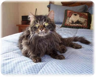 Maine Coon Cat for adoption in Brighton, Michigan - Miley