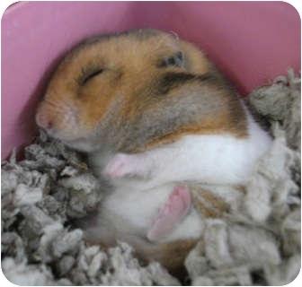 Hamster for adoption in Hayden, Idaho - Dexter