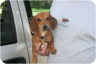 Dachshund Puppy for adoption in Garden Grove, California - Tiger