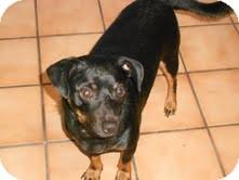 Dachshund/Miniature Pinscher Mix Dog for adoption in Las Vegas, Nevada - Scrappy