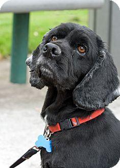 Cocker Spaniel Dog for adoption in Tacoma, Washington - BLACKIE