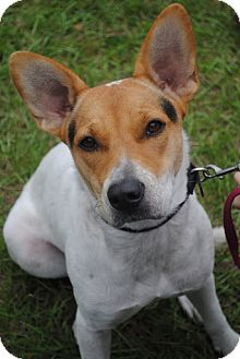 Australian Cattle Dog/Collie Mix Dog for adoption in Orlando, Florida - Glory