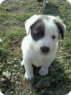 Hound (Unknown Type)/St. Bernard Mix Puppy for adoption in Williamston, North Carolina - Petey