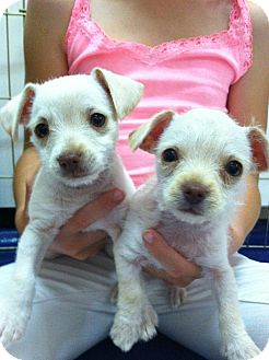 Chihuahua/Tea Cup Poodle Mix Puppy for adoption in Costa Mesa, California - Thumbelina