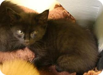 Domestic Shorthair Kitten for adoption in West Des Moines, Iowa - Tinkerbell