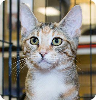 Domestic Shorthair Kitten for adoption in Irvine, California - Sprinkles
