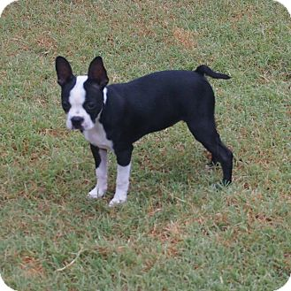 Boston Terrier Puppy for adoption in Plano, Texas - Beans