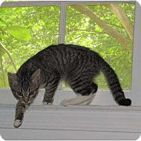 Adopt A Pet :: EMILY-COURTESY POST - Fairfax, VA