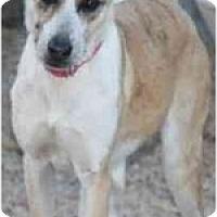 Adopt A Pet :: Frito - Gilbert, AZ
