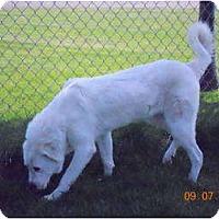 Adopt A Pet :: Amy - Hamilton, MT