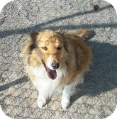 Sheltie, Shetland Sheepdog Mix Dog for adoption in Silver City, New Mexico - Harley