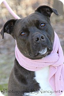 American Staffordshire Terrier Mix Dog for adoption in Voorhees, New Jersey - Trinity