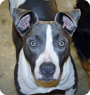 American Staffordshire Terrier Mix Dog for adoption in Los Angeles, California - Nellie
