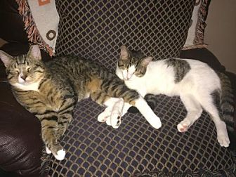 Domestic Mediumhair Cat for adoption in St. Cloud, Florida - Julius and Ceasar