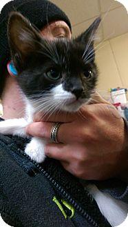 Domestic Shorthair Kitten for adoption in Ogden, Utah - Snip