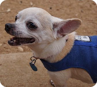 Chihuahua Mix Dog for adoption in AUSTIN, Texas - Tillie