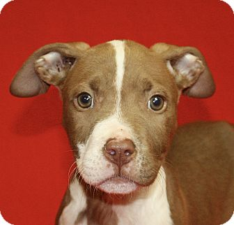 Pit Bull Terrier Mix Puppy for adoption in Jackson, Michigan - Raphael