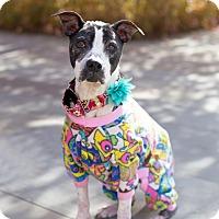 Adopt A Pet :: Matilda - Des Peres, MO