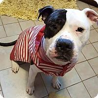 Adopt A Pet :: Harry - Villa Park, IL