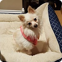 Adopt A Pet :: Ashley - Troy, MI