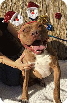 Staffordshire Bull Terrier Mix Dog for adoption in San Diego, California - JIMMY