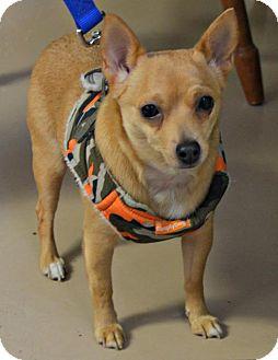 Chihuahua Mix Dog for adoption in Yreka, California - Daisy