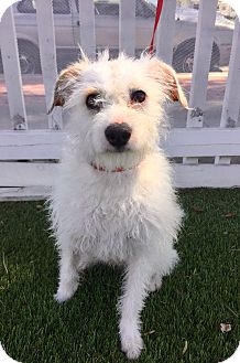 Parson Russell Terrier/Wirehaired Fox Terrier Mix Dog for adoption in Santa Ana, California - Weston (BH)