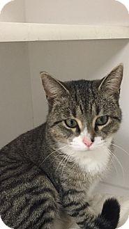 Domestic Shorthair Cat for adoption in Seville, Ohio - Radar
