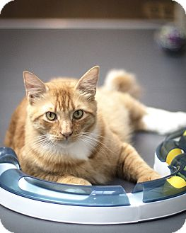 Domestic Shorthair Cat for adoption in St Helena, California - Cheeto